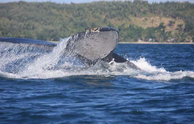 safari-baleine-sainte-marielodge-madagascar-2